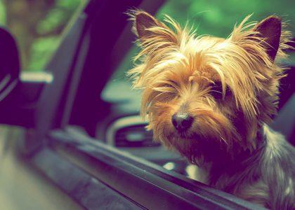 Blog Carflix Transporte de Pet